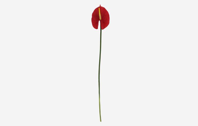 Flor Anthurium rojo